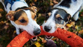 How to stop a dog stealing toys: Two Jack Russell Terriers fighting over a toy
