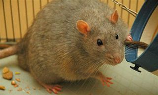 A Zucker rat that has developed diabetes
