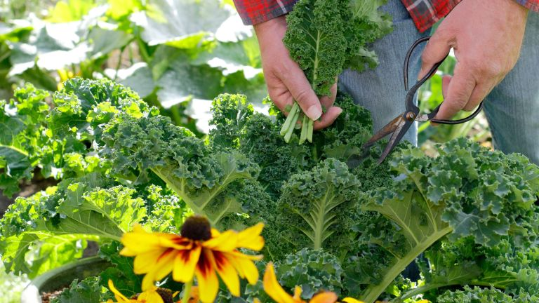 companion plants for kale - person harvesting young kale from a veg plot