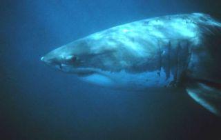 white-shark-110215-02