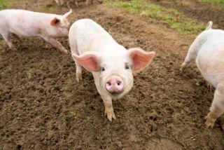 Three pigs stood in mud