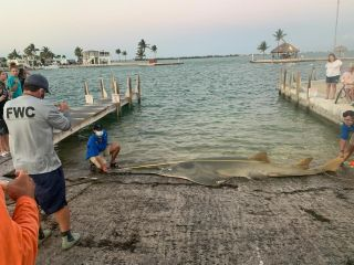 A 16-foot (4.9 meter) female sawfish washed ashore in the Florida Keys this week.
