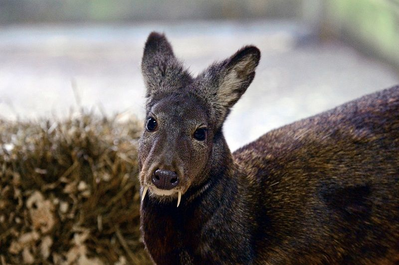 Deer With Vampire Fangs Spotted For 1st Time In Decades Live Science