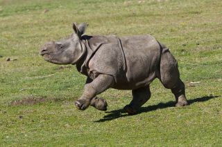 Rhino Calf Charlees enjoys galloping around her home at the San Diego Safari Park