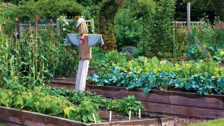 A vegetable garden with a scarecrow