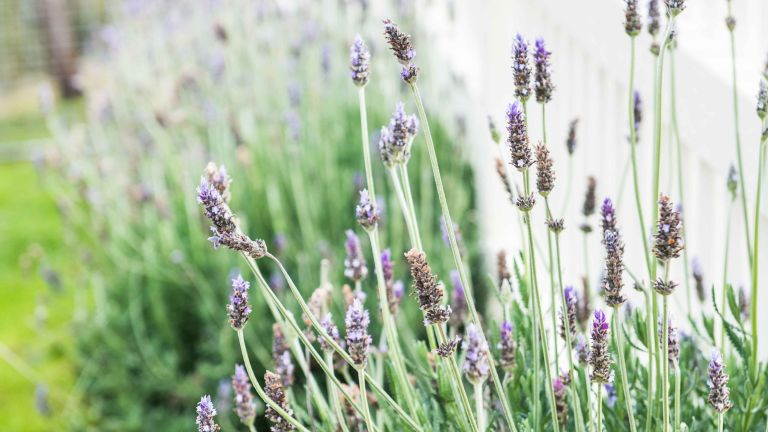 Wildly growing lavender in garden