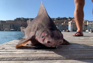 The 'pig fish', otherwise known as an angular roughshark, probably thinks you look pretty ridiculous, too.