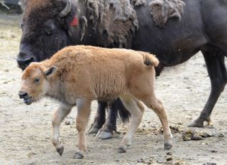 Bronx Zoo baby bison