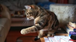 Close-Up Of Tabby Sitting On Table At Home with paw outstretched