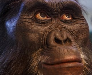 A mask representing an <em>Australopithecus afarensis</em>, a human ancestor that may have given birth in a way that was in-between chimpanzees and humans, scientists have found.