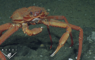 A deep sea crab pulls at methane hydrate frozen onto its mouth at a methane seep offshore of Vancouver Island, British Columbia.