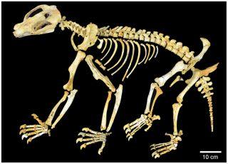 fossil marsupial