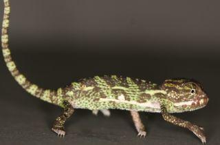 An adult veiled chameleon, Chamaeleo calyptratus