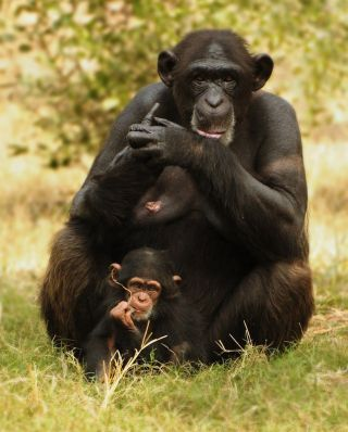Female chimpanzees experience declining fertility rates from their early 30s onward until their reproductive chances reach zero around age 45.