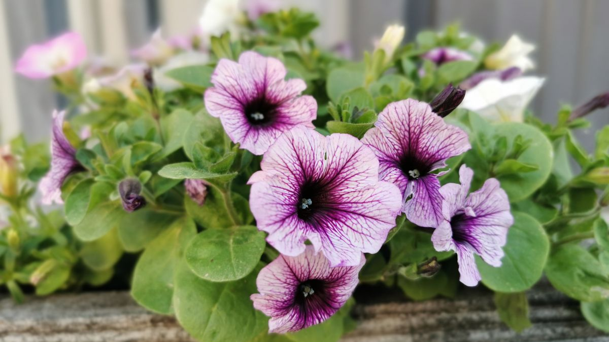 Top 3 reasons your petunias are wilting – bring your blooms back to life