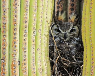 great horned owl, saguaro national park, sonoran desert
