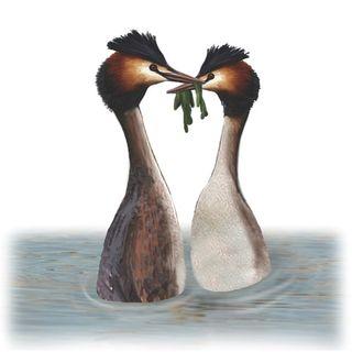 grebe-bird-illustration