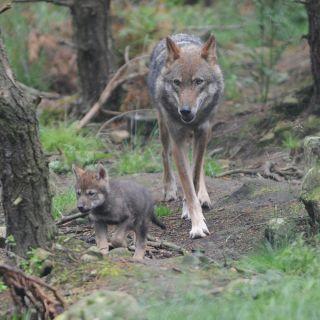 wolf pups, quintuplets