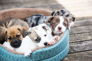 Puppies resting in a dog bed.