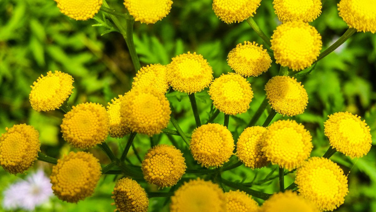 Best plants that repel insects: keep bugs at bay with these plants