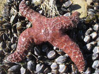 A diseased sea star in California.