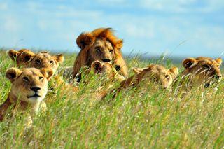 lion, pride, lions