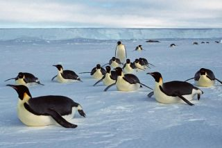 Emperor penguins DO NOT REPUBLISH THIS PHOTO