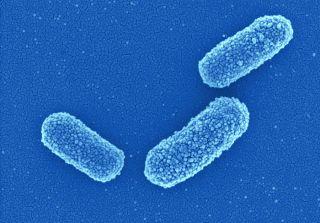 toothbrush bacterium