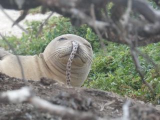 This Hawaiian monk seal got an eel stuck in its nose. Scientists say this is a rare, but not unheard of, occurrence.