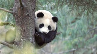 Three-year-old giant panda up a tree in the Wolong Panda Center, China.