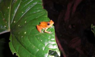 This nocturnal frog from the genus Diasporus is one the hardy remnant that lives on in fungus-devastated El Copé.