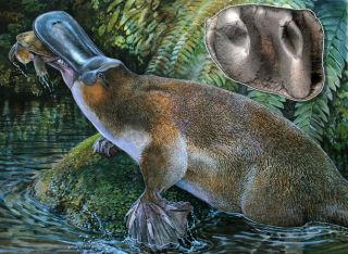 giant platypus fossil discovery