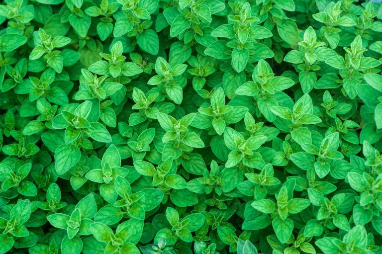 mint: an invasive garden plant