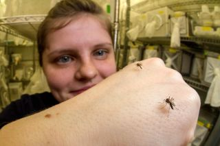 Emily Dennis, the neurogeneticist and lead author on the study, is pictured with research mosquitos on her arm.