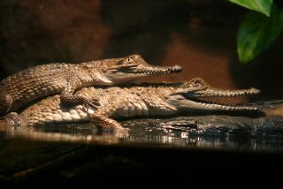 crocodiles mating in the water