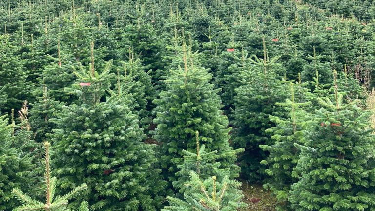 christmas trees growing in a field