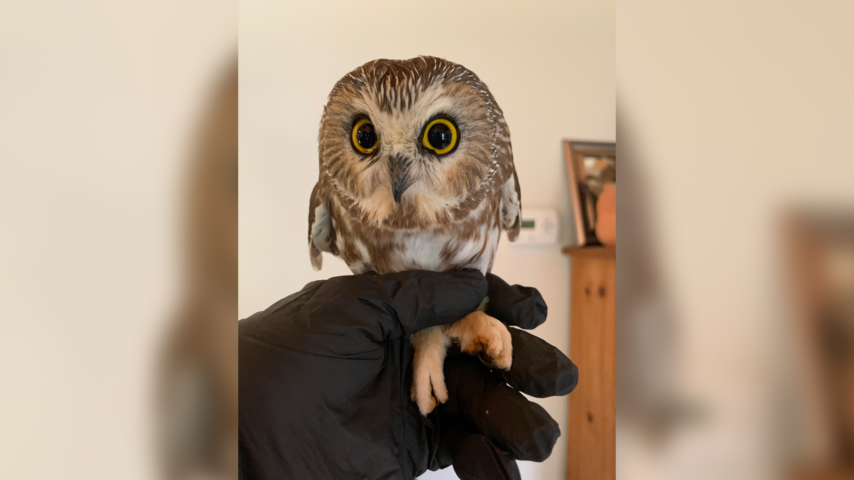 Northern saw-whet owls have a catlike face, oversized head and bright yellow eyes, according to the Cornell Lab of Ornithology.