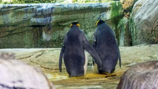 Two male king penguins in Zoo Berlin named Skip and Ping adopted an abandoned egg in August; they had previously tried to hatch stones in their enclosure.