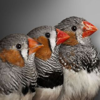 Zebra Finches aging. Young, middle-aged and old zebra finches, showing obvious age-related changes in coloration and condition. Scientists have found that the length of segments on the end of chromosomes during early life was predictive of how long the fi