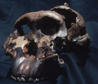 the skull of human relative called the Nutcracker Man