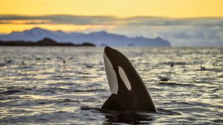 orca killer whale looking out of the water at sunset, off Kaldfjorden in Norway.