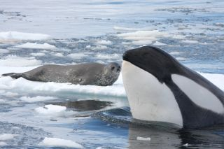 Killer whale and Weddell seal.