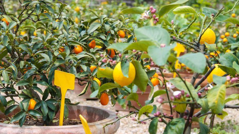 best fruit trees to grow in pots: citrus fruit trees growing in pots