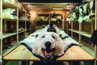Polar bear skins in storage, polar bear skin trade