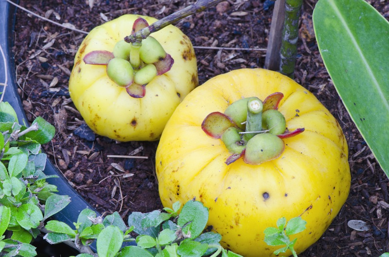 Garcinia Cambogia: Weight-Loss Supplement May Be Toxic to