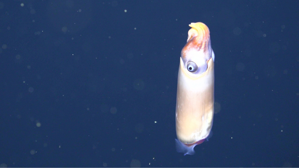 Elusive squid seen alive in natural habitat for first time (VIDEO)