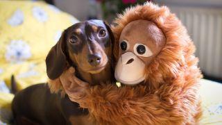 How many toys should a puppy have? Dachshund puppy cuddling a toy Orangutan