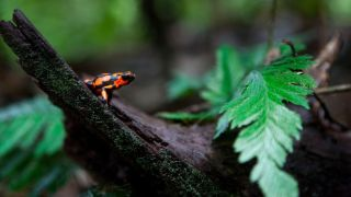 A harlequin poison dart frog (Oophaga histrionica). Poison dart frogs are among the most poisonous animals in the world — so they have developed tricks to avoid poisoning themselves.