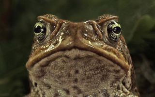 cane-toad-100624-02