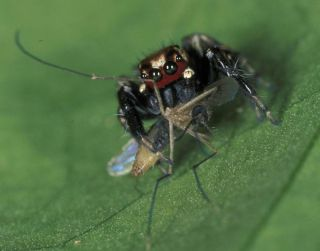 jumping spider eats mosquito